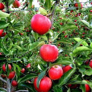 Apples Gala