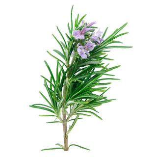 Floral water of rosemary