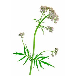 Floral water of Valerian