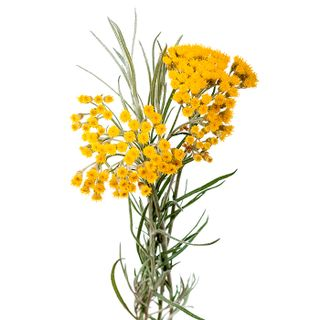 Floral water of the immortelle