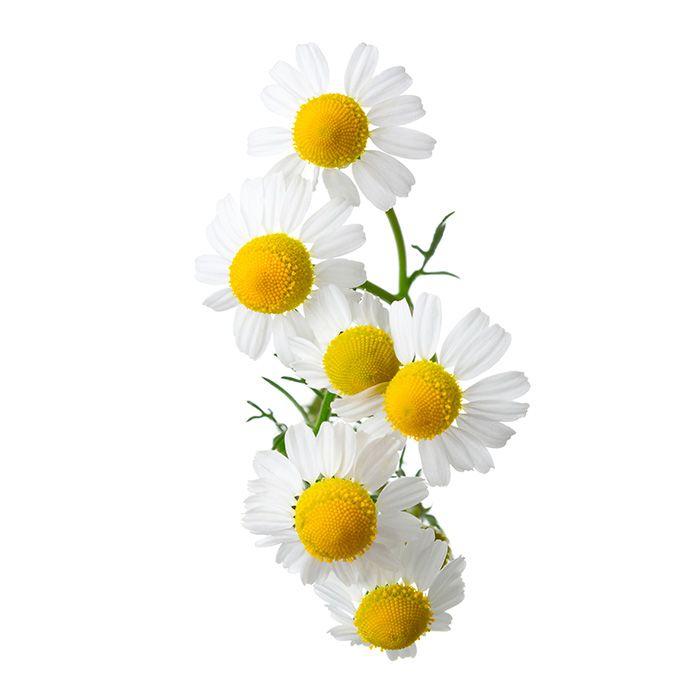 Flower water Roman chamomile