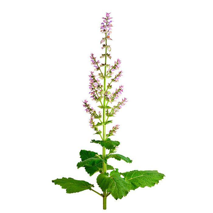 Oil of Salvia