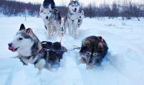 Dog sledding tours in Karelia