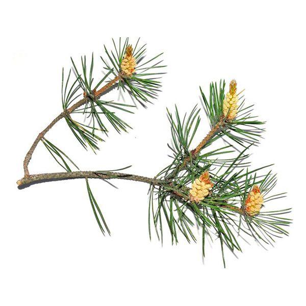 Pine flower water