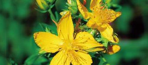 Extract of the herb St. John's Wort