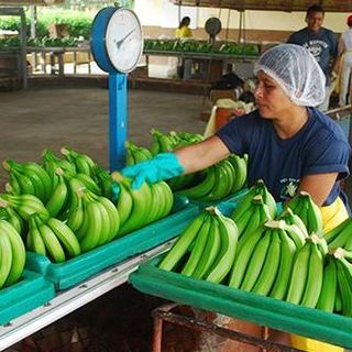 Fresh cavendish bananas from ecuador